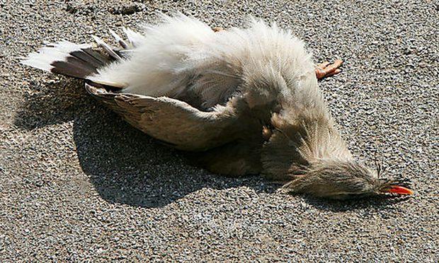Können vögel sich tot stellen