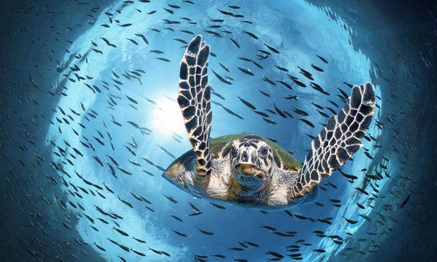 Neugierig. Eine Suppenschildkröte (Chelonia mydas) beim Abtauchen schaut im Gegenlicht in die Linse.
