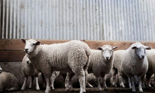 Wer die Schafherden in Neuseeland sehen will, muss zahlen