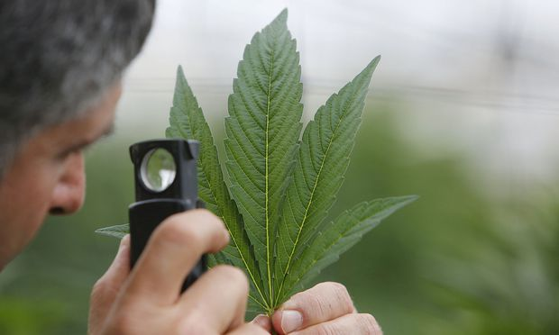 FILE PHOTO: An employee inspects the leaf of a cannabis plant at a medical marijuana plantation in northern Israel