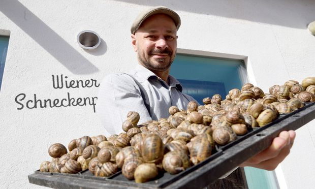 Andreas Gugumuck züchtet in Rothneusiedl im zehnten Wiener Gemeindebezirk Weinbergschnecken. Die Gastronomie nimmt diese als Fastenspeise mittlerweile dankend an.
