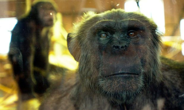 Symbolbild Schimpanse.