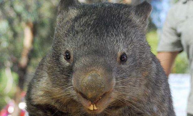 Der 32-jährige Wombat ist tot.