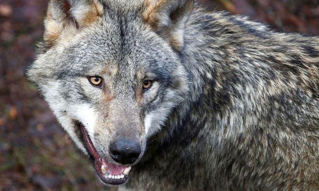 Wölfe kooperieren von Natur aus ebenso gut mit Menschen wie Hunde.