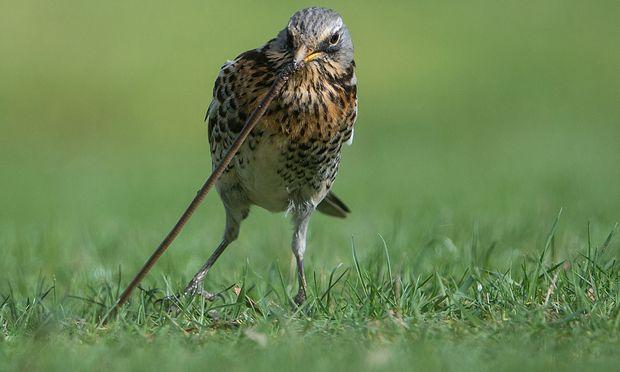 Wichtig für die Humusbildung und unentbehrlich als Nahrung für die Vogelwelt: die Vielfalt der Regenwürmer.