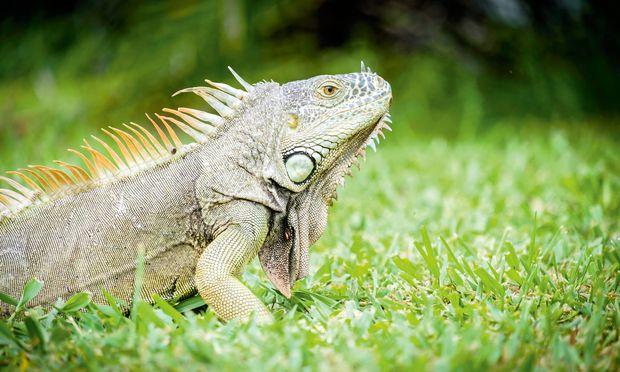 Plage? Leguane bevölkern Florida.