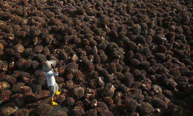 Ernte auf einer malaysischen Palmölfarm. Viele Firmen im Hauptexportland betonen, mittlerweile nachhaltig zu produzieren.