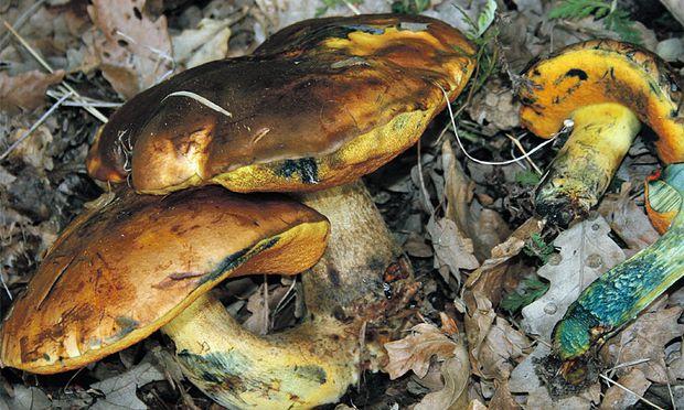 Er sieht dem Flockenstieligen Hexenröhrling zum Verwechseln ähnlich, Neoboletus xanthopus ist aber eine eigene Art.