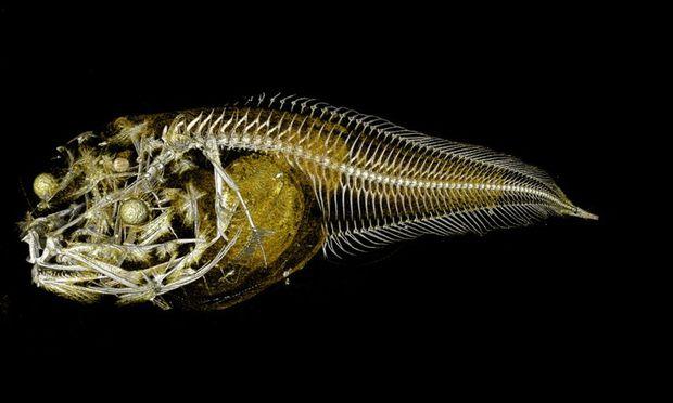 Eine Röntgenaufnahme eine der neu entdeckten Fischarten.