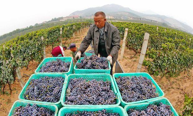 Traubenlese in China: 11,5 Millionen Hektoliter Wein wurden 2017 in dem Land produziert. / Bild: Yang Shiyao Xinhua / Eyevine / picturedesk.com