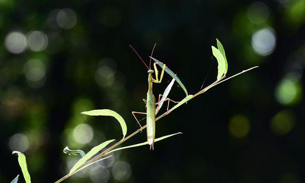 Die Gottesanbeterin ist das Insekt des Jahres.