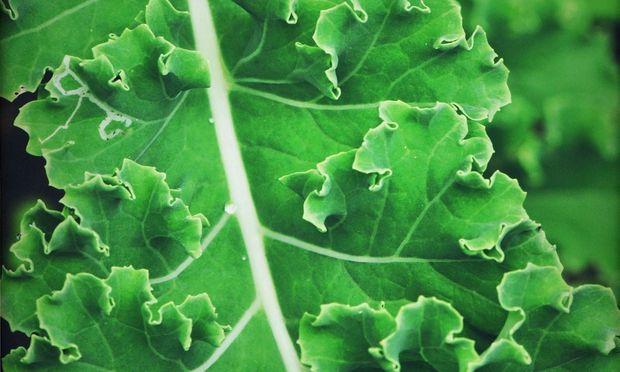 Ewiger Kohl ist einer der vielen winterharten Gemüsepflanzen.