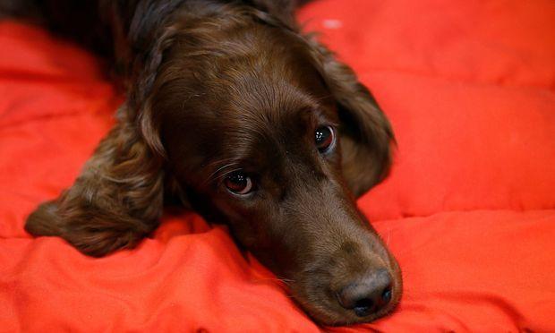 """Was will der Hund uns mit diesem Gesichtsausdruck (""""inner brow raiser"""") sagen?"""