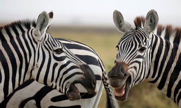 Zebras play in Amboseli National park