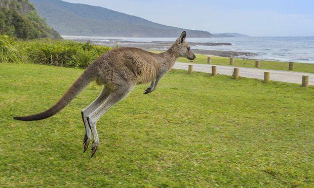 Oestliches Graues Riesenkaenguru Macropus giganteus huepft ueber eine Wiese an der Kueste Austra
