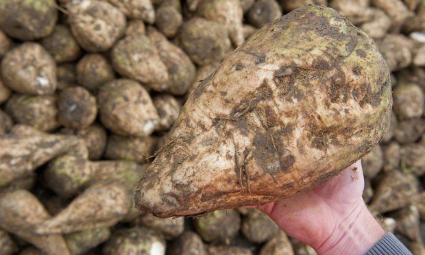 Die Zuckerrübe darf bald quotenfrei angebaut werden