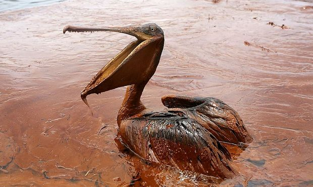 File photo of an oil-covered brown pelican in a pool of oil along Queen Bess Island Pelican Rookery