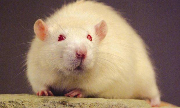 Genmais gefuetterte Ratten sterben