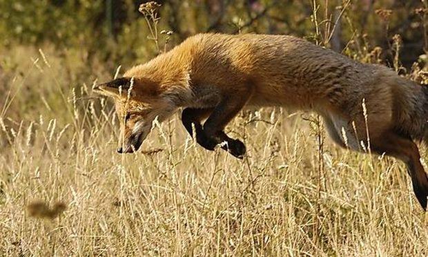 Fuchsen