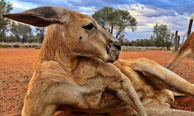 Das Kangaroo Sanctuary Alice Springs veröffentlicht(e) auf Instagram regelmäßig Bilder von Roger.