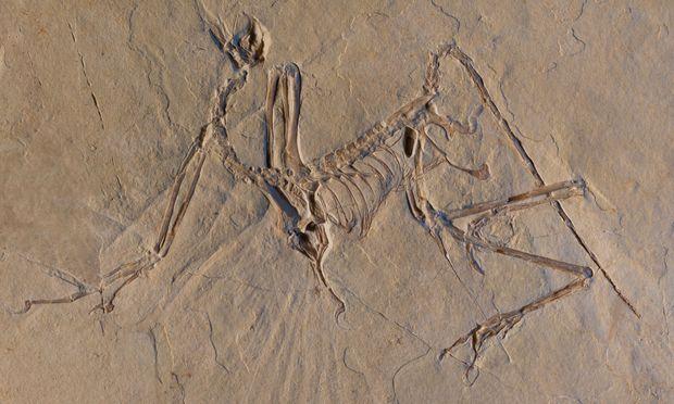 Ein Skelett des Archaeopteryx.