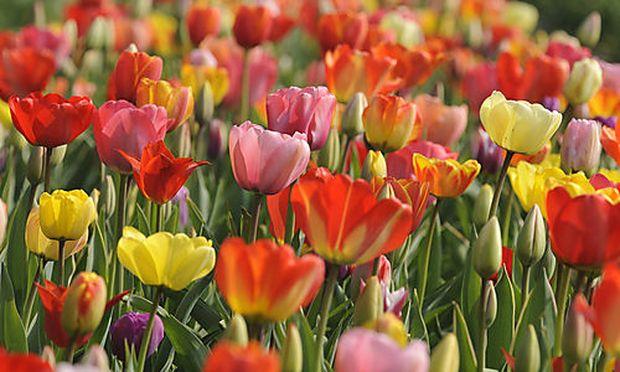 Aus der Türkei kam die Garten-Tulpe um die Mitte des 16. Jahrhunderts nach Mittel- und Westeuropa