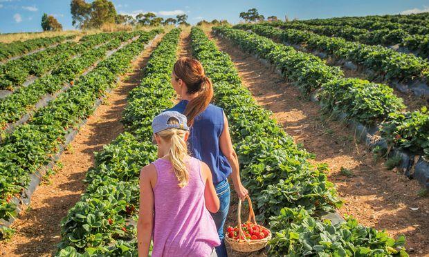 Fülle. Am Hügel wachsen mehr Erdbeeren, als es für Marmelade braucht.