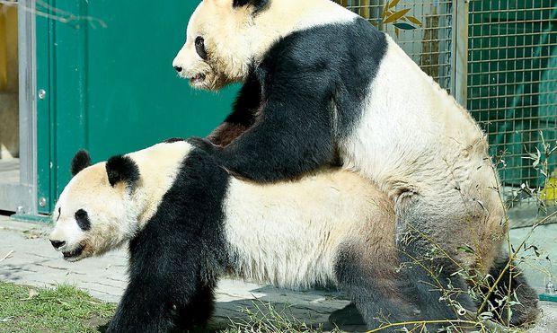 Yang Yang und Long Hui geben der Zooleitung Anlass für Hoffnung auf Panda-Nachwuchs.