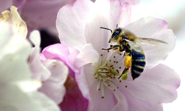 Biene auf Bluete