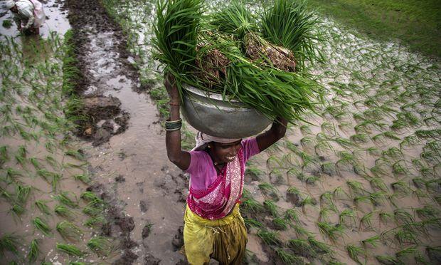 Indien kauft Reis um eine Billion Rupien (12,2 Mrd. Euro) bei den Bauern im Land.
