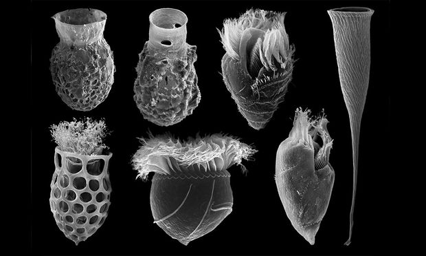 Im Elektronenmikroskop zeigt sich die Vielfalt der Einzeller, deren Gehäuse wie Vasen oder Sektflöten aussehen.