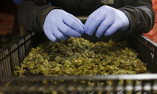 Cannabis-Plantage