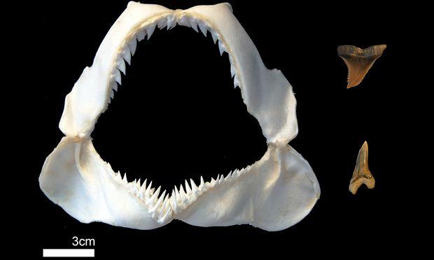 Das Kiefer eines Fossilhais. Daneben: Zähne seiner vor fünf bis 20 Mio. Jahren lebenden Vorfahren.