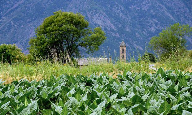 Noch findet man Tabakfelder in Andorra, hier am der Kirche Sant Miquel d Engolasters