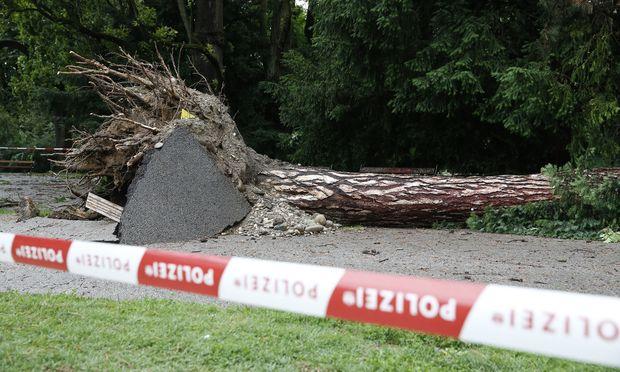 Der entwurzelte Baum im Stadtpark in Graz.