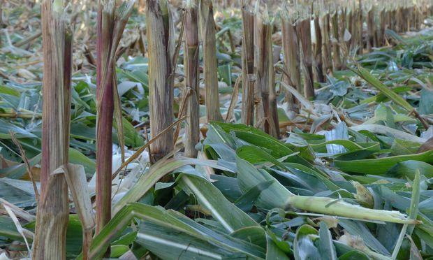 Masfeld nach der Ernte in der Erntesaison 2018 u B z Maispflanze und Maiskolben nach der Ernte Mai