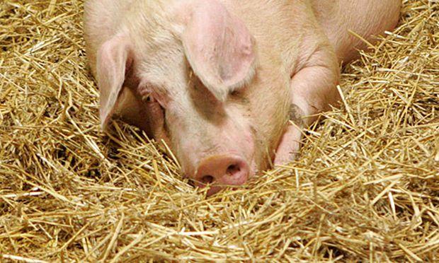 Symbolbild Schweinezucht