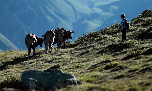 Das ABGB stellt hohe Anforderungen an die Verwahrung von Tieren, weil selbst gutmütige gefährlich sein können. (Archivbild, aufgenommen in Vorarlberg)