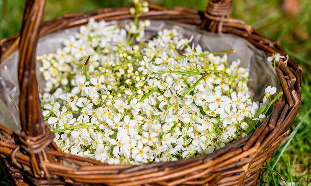Die geernteten Blüten der Traubenkirsche