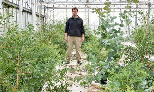 Der Gärtner des Tiergartens Schönbrunn, Konrad Käfer, im Glashaus in Simmering: Hier werden zehn Arten Eukalyptus gezüchtet.