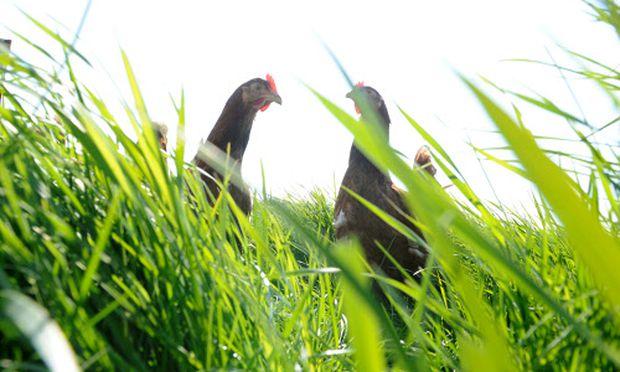 Nicht verboten, aber wegen des Lärms nicht empfehlenswert und konfliktträchtig: Hühner im Stadtgarten.