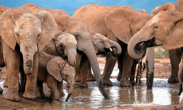 """Ehrenrettung der Elefanten im Etosha-Nationalpark Namibias sowie anderer vom US-Präsidenten verunglimpfter Orte in Afrika folgte auf Trumps """"Shithole""""-Sager."""