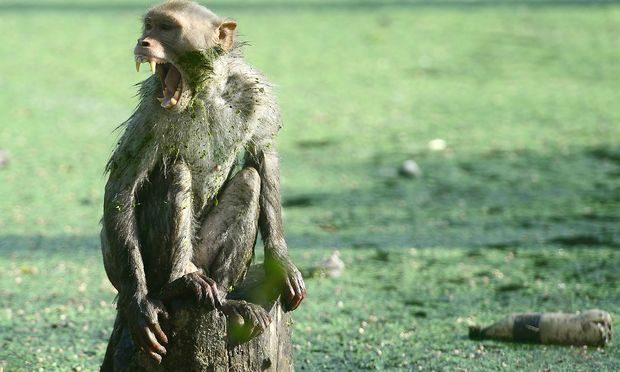 FILES-INDIA-ANIMAL-MONKEY