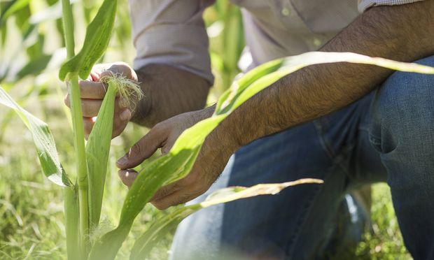 Man examining corn in field PUBLICATIONxINxGERxSUIxAUTxONLY Copyright Fr�d�ricxCirou B45981928