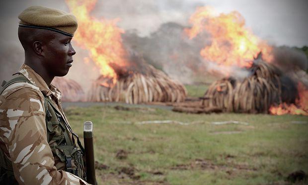Als Maßnahme gegen den illegalen Handel wurde in Afrika Elfenbein verbrannt