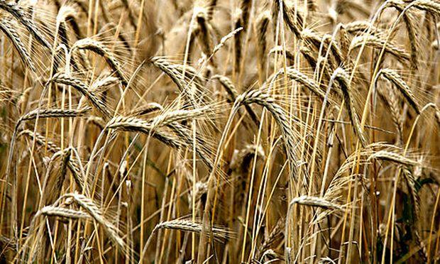 Noch gut auf den Halmen steht  am Mittwoch, 11. Juli 2007, Getreide der Sorte Triticale, eine Kreuzun