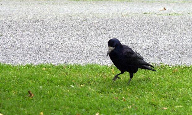 Archivbild: Eine Krähe, aufgenommen in Wien
