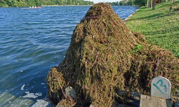 Tonnenweise ausgefischt: Schlingpflanzenhügel, Alte Donau.