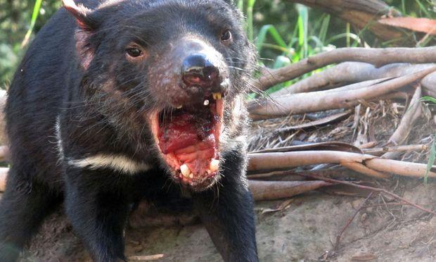 90 Prozent der wild lebenden Tasmanischen Teufel wurden bereits von einem übertragbaren Krebs getötet. / Bild: Rod McGuirk / AP / picturedesk.com