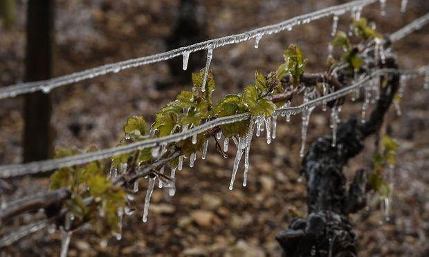 Frost auch in Frankreich: Eine Aufnahme aus einem Weingarten bei Auxerre